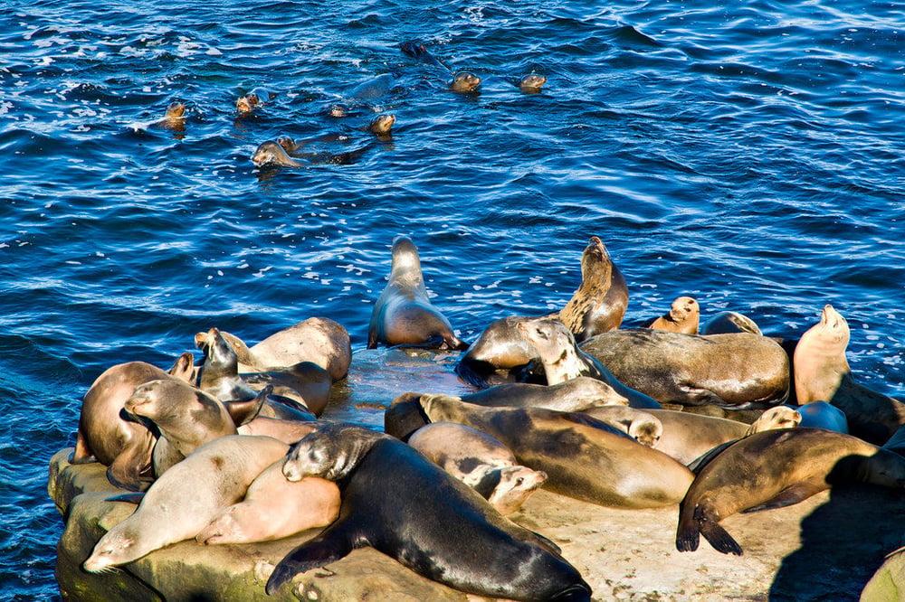 La Jolla Cove - Seals