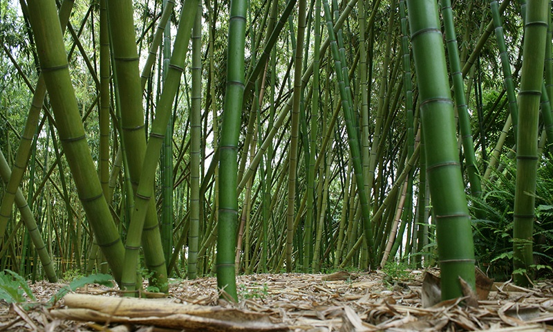 botanic-garden-bamboo