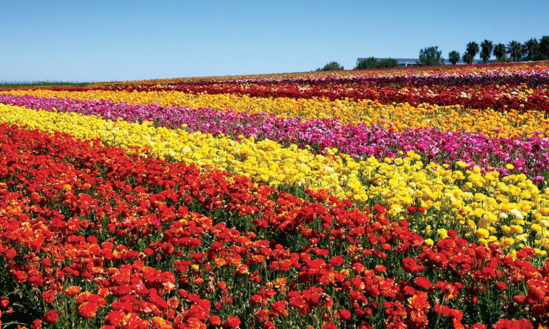 flower-fields