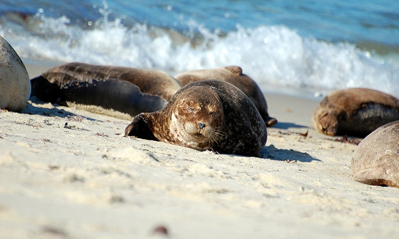 Sunbathing Seals in La Jolla, California