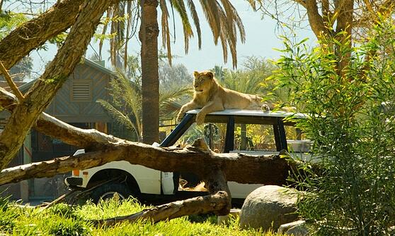 escondido-zoo-safari-lion.jpg