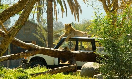 escondido-zoo-safari-lion