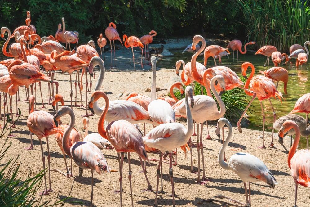 flamingos safari park san diego