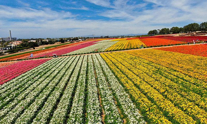 flower fields Carlsbad San Diego
